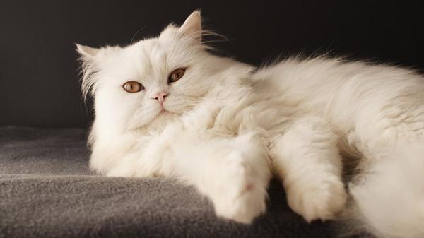Персидские коты любят поесть