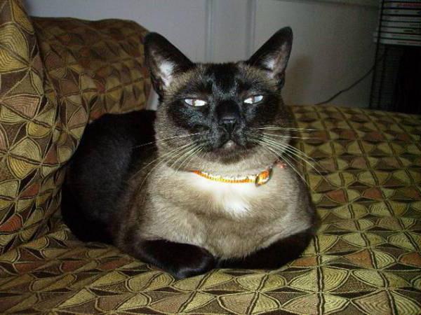 лечение панкреатита у кошек