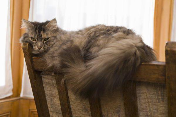 острый панкреатит у кошек