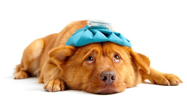 Собаке положили холодный компресс