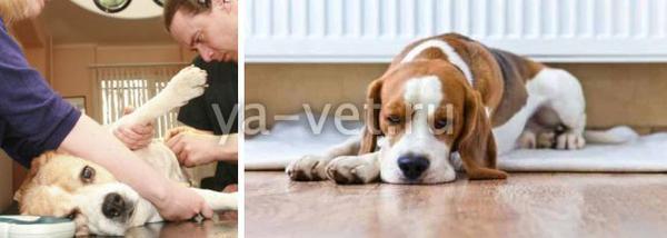лечение почечной недостаточности у собак