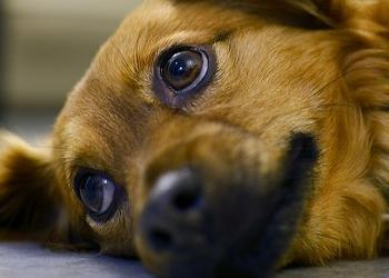собака стала вялой после укуса клеща