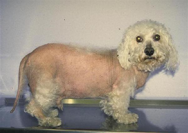 кушинга синдром у собак