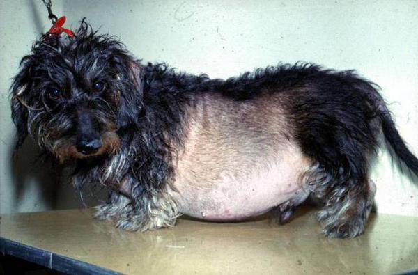 синдром кушинга у собак лечение