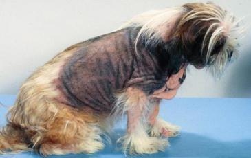 Фото. Болезнь Кушинга у собак