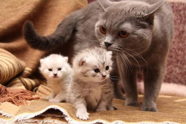У кошки-первородки много котят не бывает