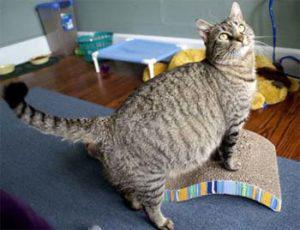 беременная полосатая кошка