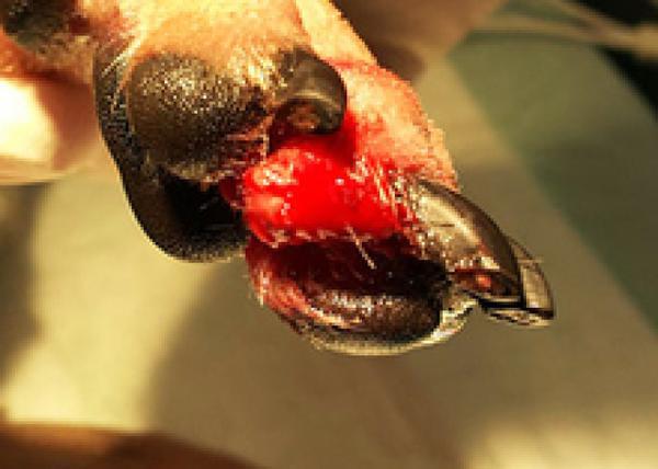 Трещина на подушечках лап у собаки