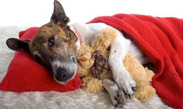 как определить цирроз печени у собак