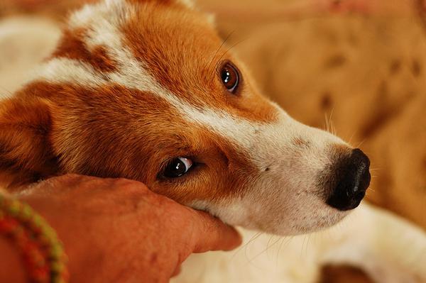 причины цирроза печени у собаки