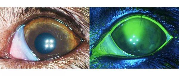 Тест с флюоресцеином на примере глаза собаки
