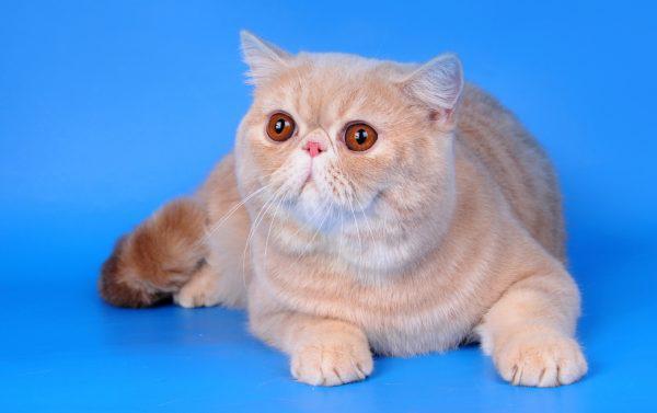 Короткошёрстная экзотическая кошка лежит