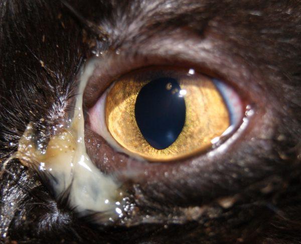 Гнойное отделяемое из глаза у кота