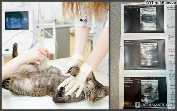 Услуги ветклиник Ультразвуковое исследование (УЗИ) органов брюшной полости у животных фото