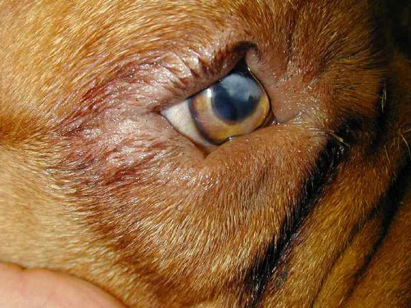 энтропион у собак клиника