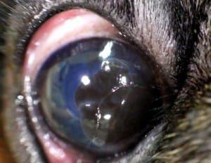 пигментозный кератит у собаки
